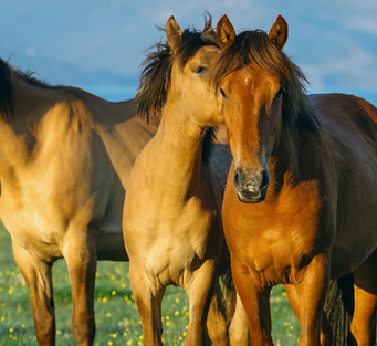 horses th - The Iron Horse Homepage